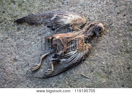 Dead Mummified Pigeon Body Lying On The Road