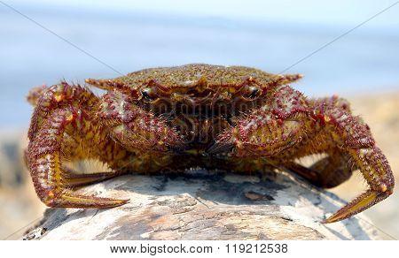 Crab hair far eastern
