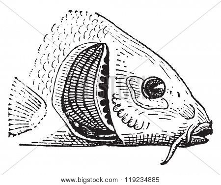 Fish gill, vintage engraved illustration. Dictionary of words and things - Larive and Fleury - 1895.