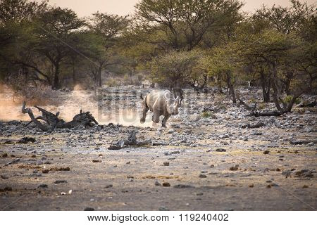 Black Rhino in Etosha National Park, Namibia ** Note: Visible grain at 100%, best at smaller sizes
