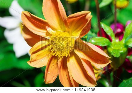the Beautiful Dalia flower,georginia