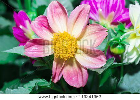 the Beautiful Dalia flower