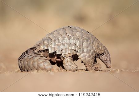 Pangolin searching for a meal of ants in the Kalahari