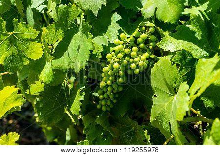 Green Grape Vines In Grape Leaves