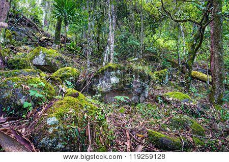 Ancient Gondwana rainforest. Nature rainforest in Lamington National Park Queensland Australia. Nature background of tropical rainforest