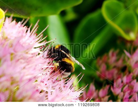 close up of the bumblebee on the pink flower