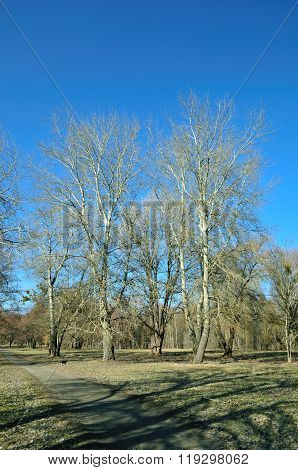 Early spring, bare poplar trees. Landscape in the park.