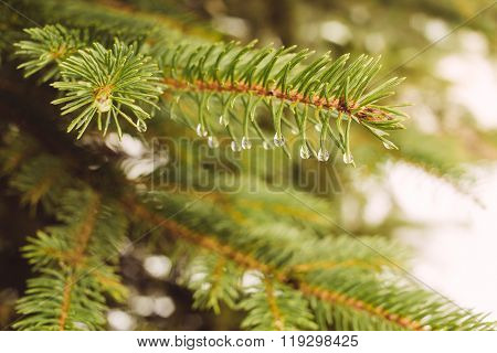 Fir-tree branch with water droplets