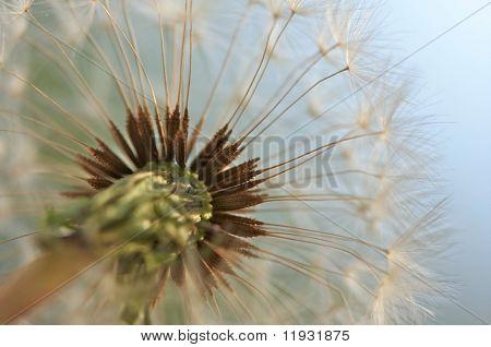 Dandelion Macro with narrow depth of field. poster