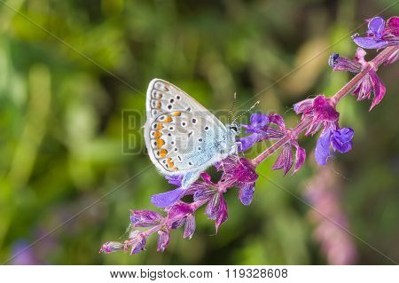 Common Blue butterfly searching nectar on a wild sage at summer season