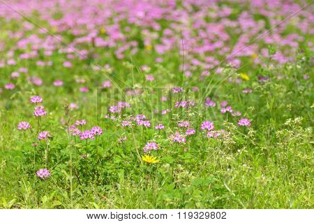 Soft focus of green meadow field full of pink red clover flowers (Trifolium pratense) during spring in Japan