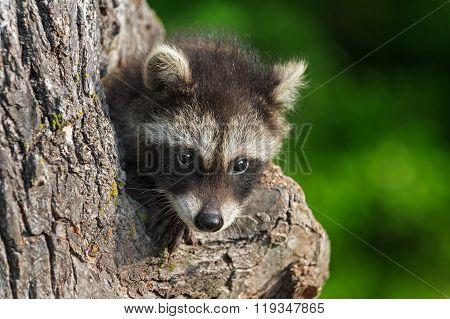 Shy Young Raccoon (procyon Lotor)