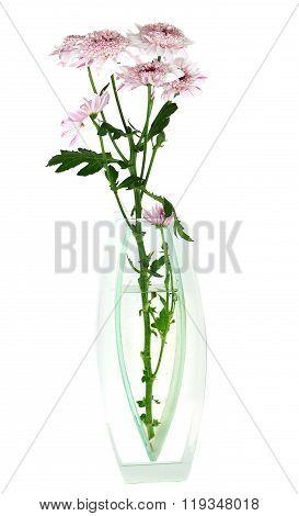 Close-up Of  Spring Pink Dasi  Flowers