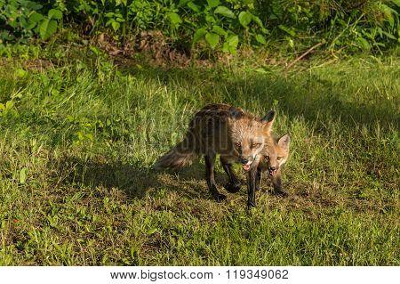 Red Fox Vixen And Kit (vulpes Vulpes) Runs Forward