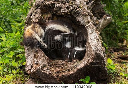 Two Baby Striped Skunks (mephitis Mephitis) Huddle In Log