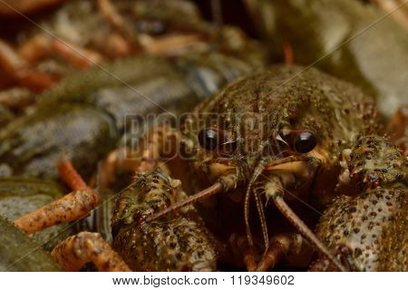 Live crayfish in close-up.