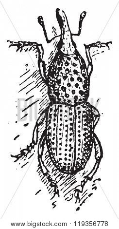Wheat weevil or Sitophilus granarius or Grain weevil or Granary weevil, vintage engraved illustration. Dictionary of words and things - Larive and Fleury - 1895.