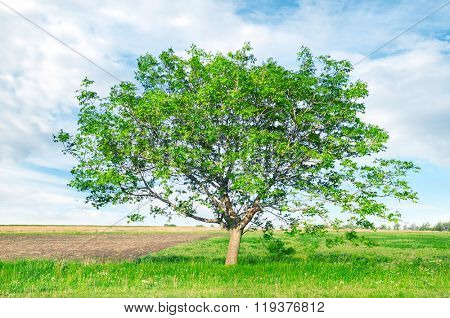 European walnut (Juglans regia) on field
