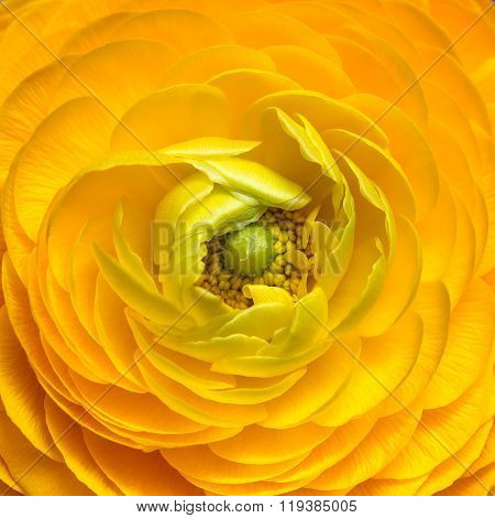 Close Up Of Yellow Ranunculus Flower