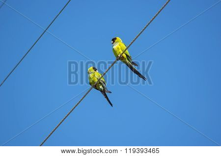 Nanday Conure Parakeets On A Wire