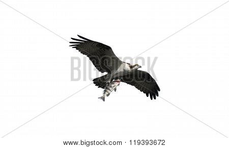 Osprey With Fish Over White