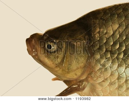 Head Of The Big Crucian.