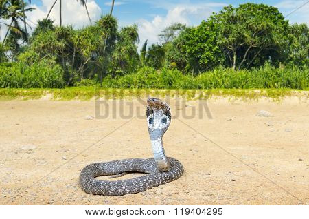 A king cobra in the wild nature poster