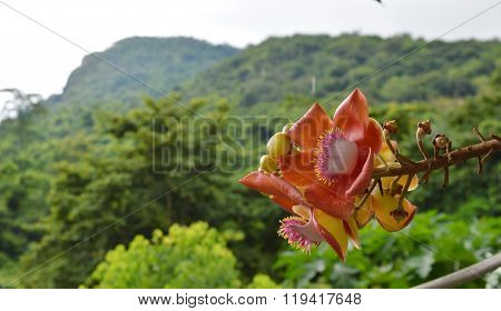 cannonball flower on mountain background
