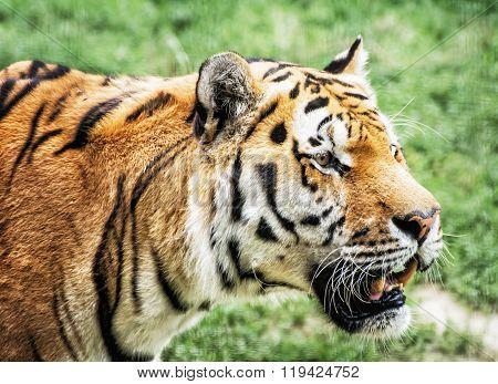 Siberian Tiger (panthera Tigris Altaica) Portrait, Animal Closeup Scene