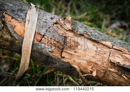 Wood With Scraped Bark
