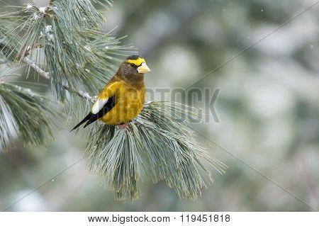 Evening Grosbeak, Coccothraustes Vespertinus