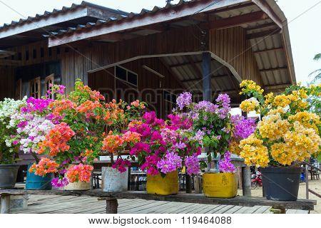 Colorful bougainvillea flowers in flowerpots, Thailand