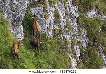 Chamois in natural habitat