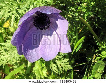 Ramat Gan Park The Purple Crown Anemone Flower 2007