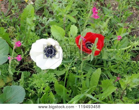 Ramat Gan Park White And Red Crown Anemone 2007