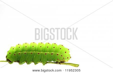 Green caterpillar isolated on white