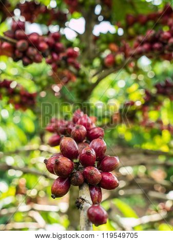 Pure Red Bunch Of Coffee Seeds In A Plantation.