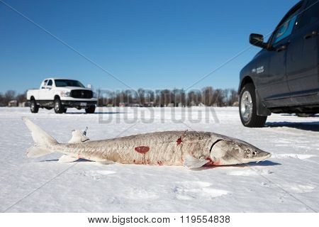 Sturgeon Spearing On Frozen Lake