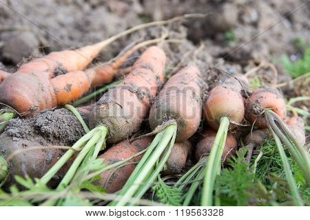 Unwashed Carrot In Field
