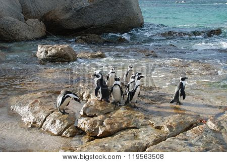 Penguins In That Sews From Simonstown
