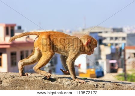 Young Rhesus Macaque Running On A Wall In Jaipur, Rajasthan, India.