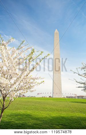 Cherry Blossoms At The Washington Monument In Dc