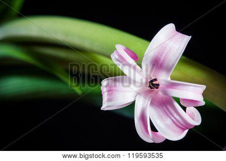 Hyacinth Single Violet Macro Flower