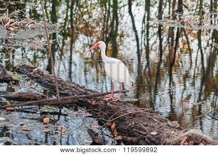 White Bird With Long Red Beak In Brazos Bend State Park Near Houston,  Texas