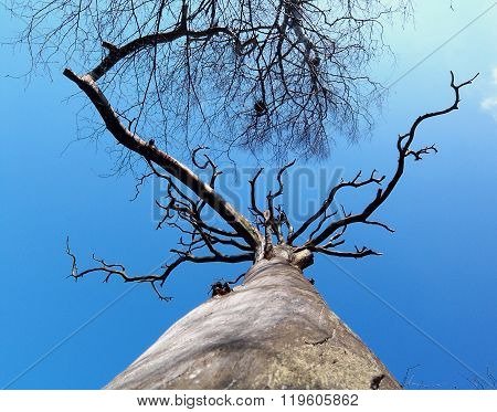 Dead tree skyward