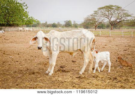 Asian Bloodline Cow In Farm