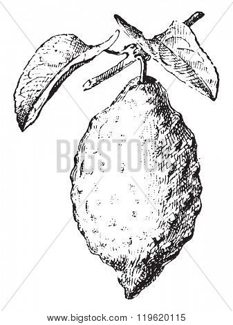 Citron, vintage engraved illustration. Dictionary of words and things - Larive and Fleury - 1895.