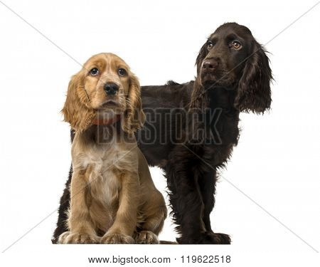 Couple of an English Cocker Spaniel puppies sitting and looking away, isolated on white (5 and 3 months old )