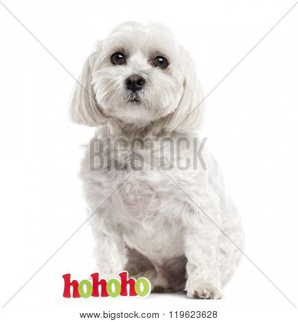 Maltese sitting and looking at the camera, isolated on white (6 years old)