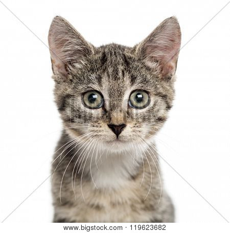 Close up of an European Shorthair kitten looking the camera, isolated on white (2,5 months old)